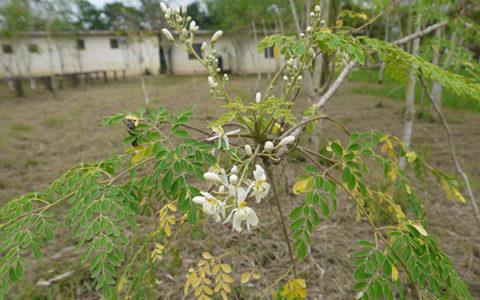 moringaflower