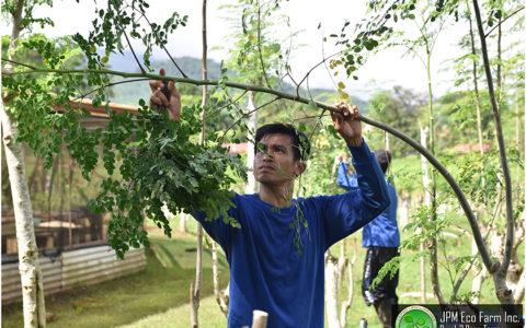 モリンガの小枝を収穫